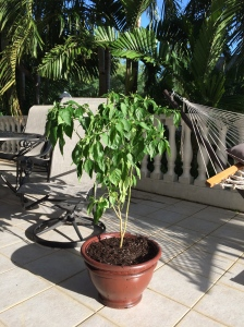 Guamanian Pepper Plant